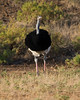 Somali Ostrich by dermoidhome