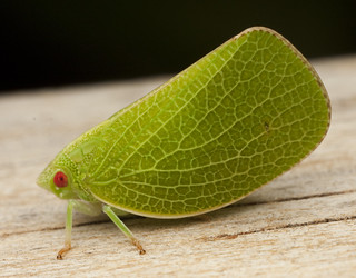 Planthopper - Acanalonia servilleir _0034 | by Eric Gofreed