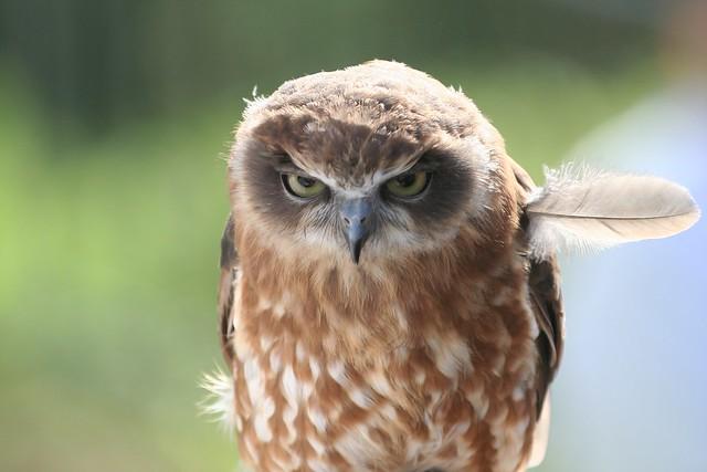 Bébé chouette - Baby owl - Angry bird