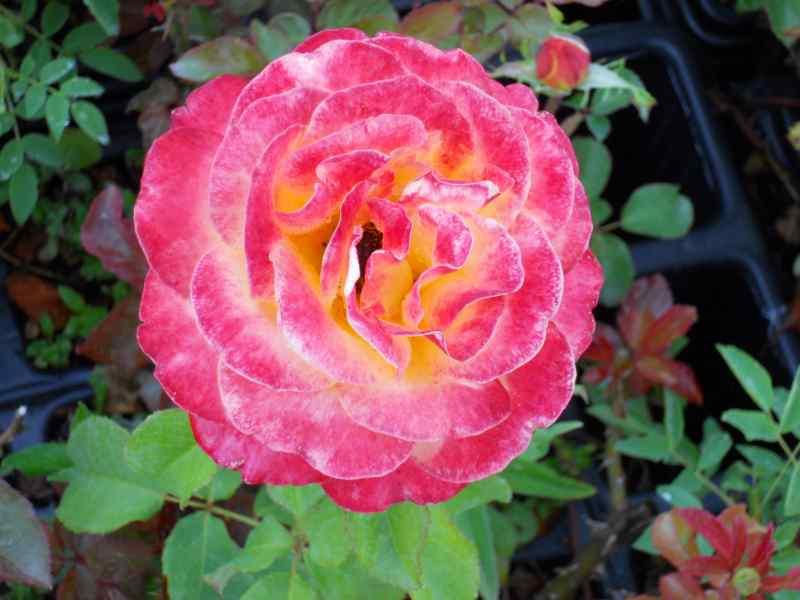 Rosa grandiflora 'Hippy' 4