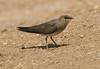 Black-winged Pratincole - Glareola nordmanni, Eilat, IL, 2007_05_05_014.jpg by maholyoak
