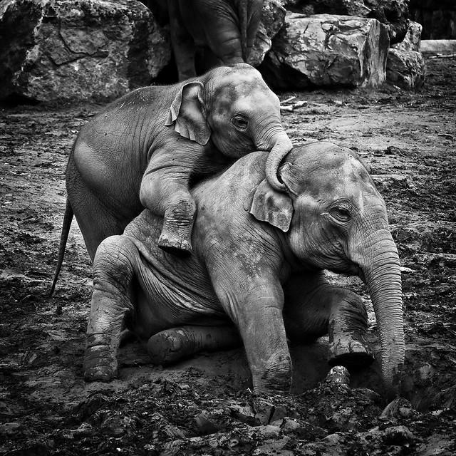 Elephants IMG_0325 CropFL