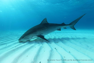 Tiger Shark | by sharkdefenders