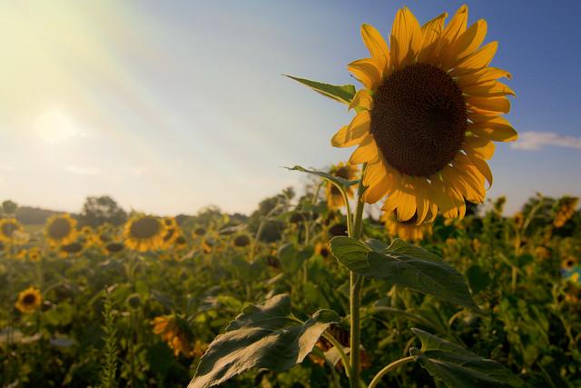 Sunflower Sunshowers