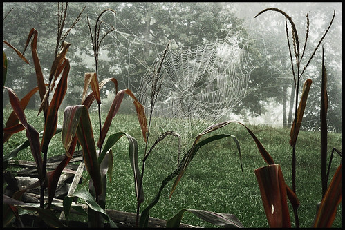 Ox Hill Cornfield Spiderweb | by danlward