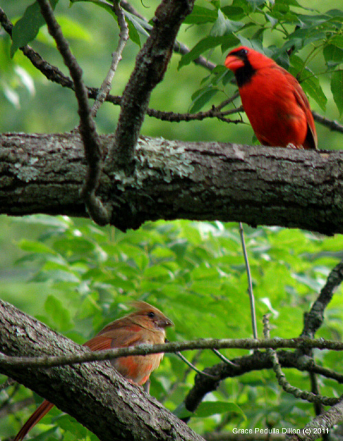 Northern Cardinal Adult and Fledgling