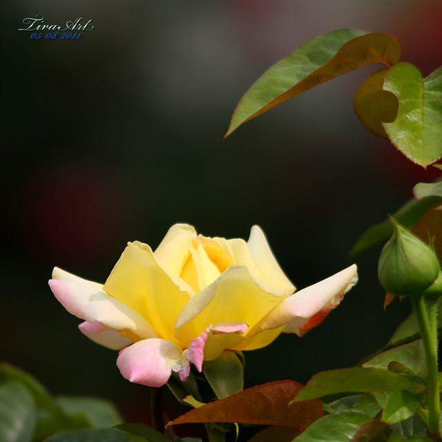 trandafirul galben 80-400