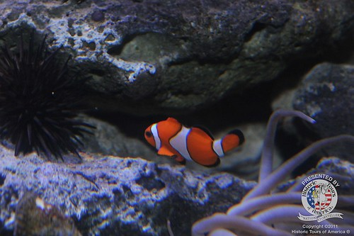 Clown fish-1 | by keywest aquarium
