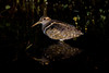 Australian Painted Snipe - Rostratula benghalensis australis,  adult male by peter.lindenburg