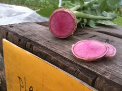 Watermelon Radish at the Youth Farm Market