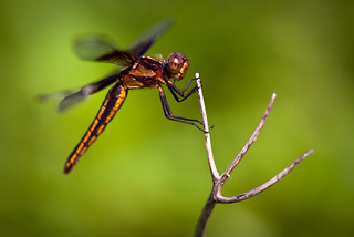 Close Encounter Dragonfly CROP | by Noel Bass