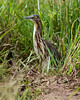 Madagascar Squacco or Malagasy Pond Heron by dermoidhome