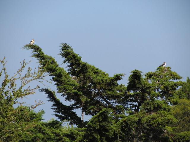 IMG_2074 white-tailed kite juveniles