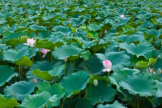 ZhaoQing Lotus | by llee_wu