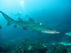 Shark with divers at Aliwal Shoal, KwaZulu-Natal, South Africa