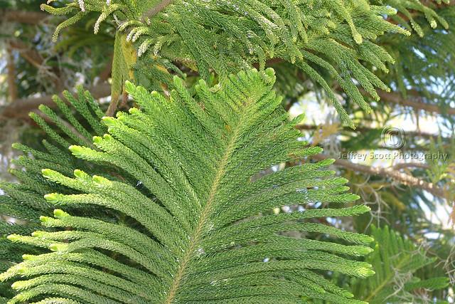 Southern Pine Tree Branch