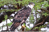 African Hawk-Eagle (Hieraaetus spilogaster) by Ian N. White