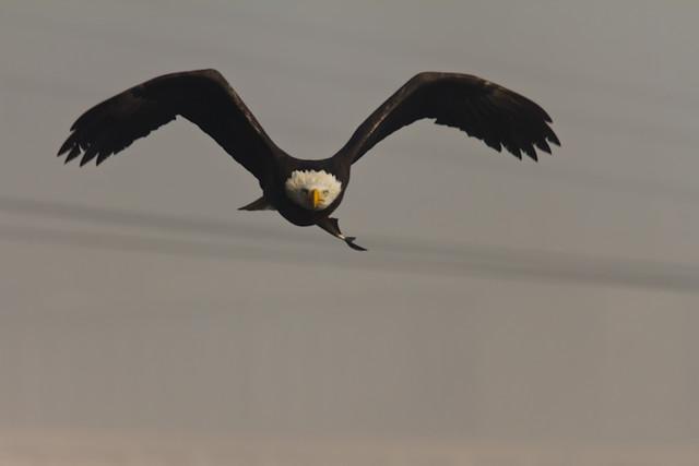 Bald_Eagle_0533_11-09-2011_Resized