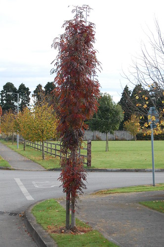 Sorbus Autumn Spire in Staplestown Near Flannerys Nurseries | by flannerys nurseries