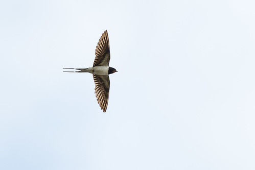 Swallow | by AnnieMacD