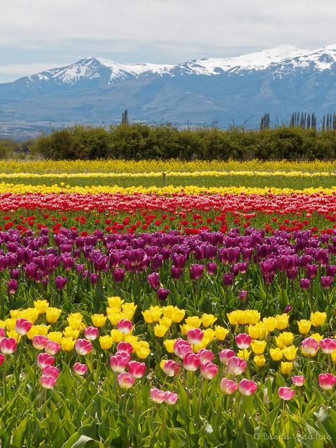 Tulipanes Patagónicos