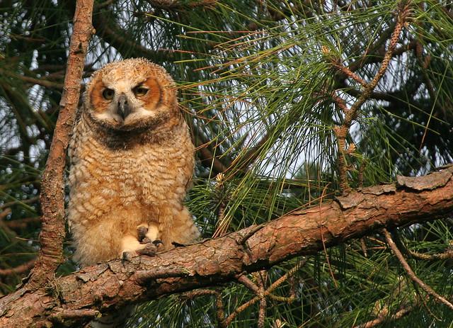 Great Horned Owl 0131