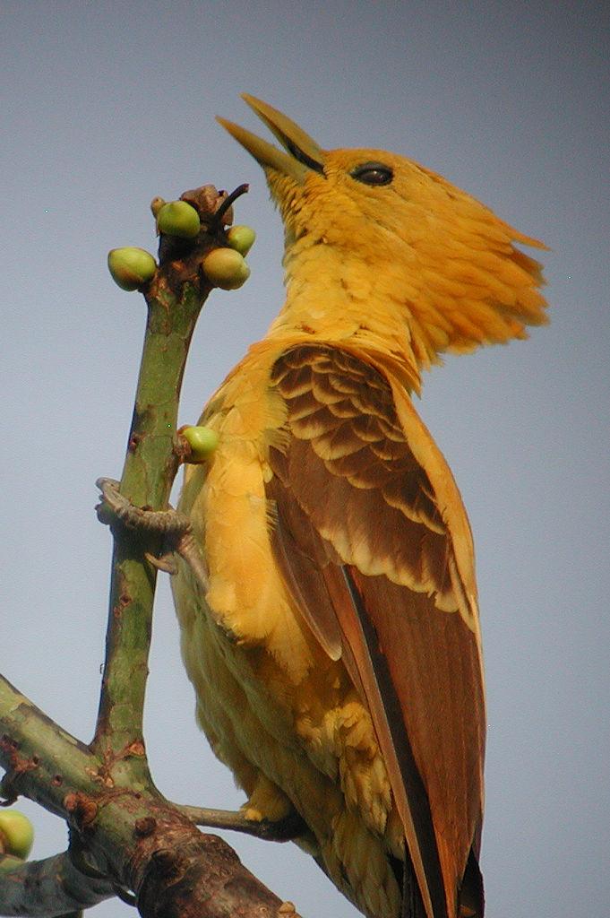 Cream-colored Woodpecker - Celeus flavus - Sucumbíos, Ecuador - February 25, 2004