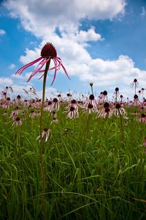 Pale Coneflower field against sky   by Noel Bass