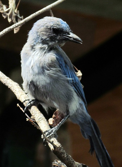 Scrub Jay: Starsmore Discovery Center: Colorado Springs, Colorado (CO)