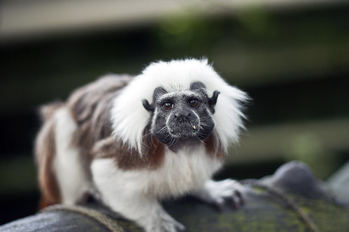 Marmoset | by @boetter