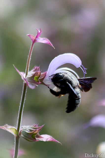 Xylocope violacé ou abeille charpentière (Xylocopa violacea)