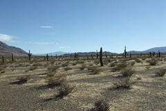 ma, 21/05/2007 - 10:51 - 87_ hoogvlakte met duizenden paalcactussen