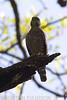 Double-toothed Kite (Harpagus bidentatus) by macronyx