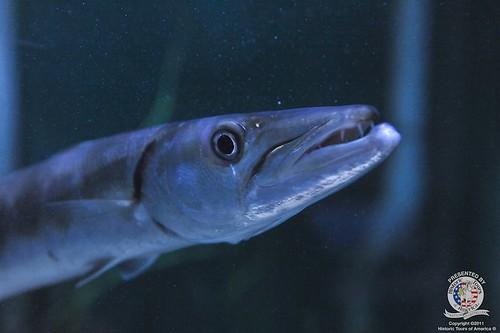 Barracuda | by keywest aquarium
