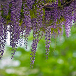 Hanging Wisteria Blooms