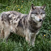 Gray Wolf - Photo (c) Matt, some rights reserved (CC BY-NC-SA)