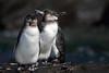 Galapagos Penguin 4 by rhysmarsh