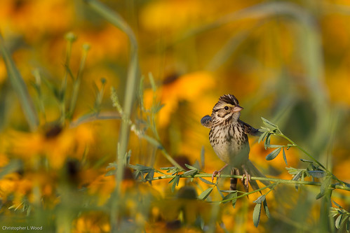 Savannah Sparrow | by zeledonia