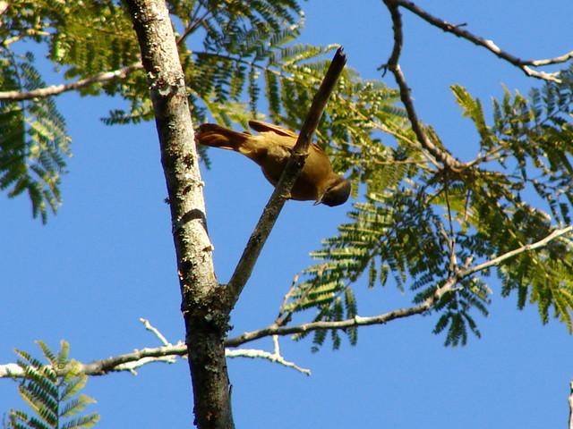 Limpa-folha-ocráceo (Philydor lichtensteini)
