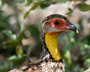Yellow-necked Spurfowl by dermoidhome