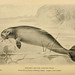 Steller's Sea Cow - Photo (c) Biodiversity Heritage Library, some rights reserved (CC BY)