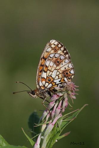 butterfly boloriaselene niittyhopeatäplä