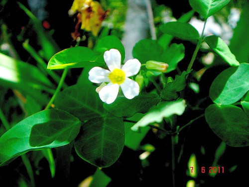 The Institute for Regional Conservation |Oxalis Barrelieri