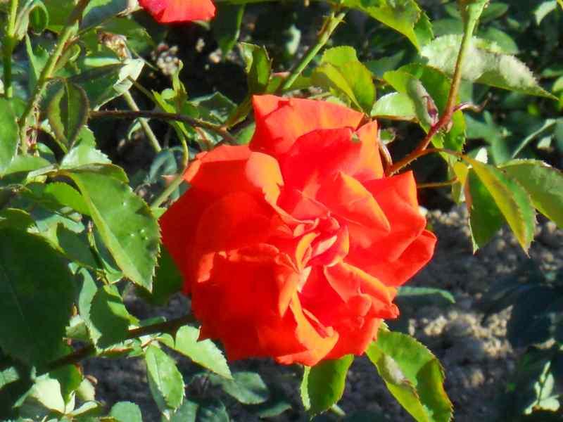 Rosa grandiflora 'Super Star' 1