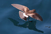 White-vented Storm-Petrel 1 by rhysmarsh