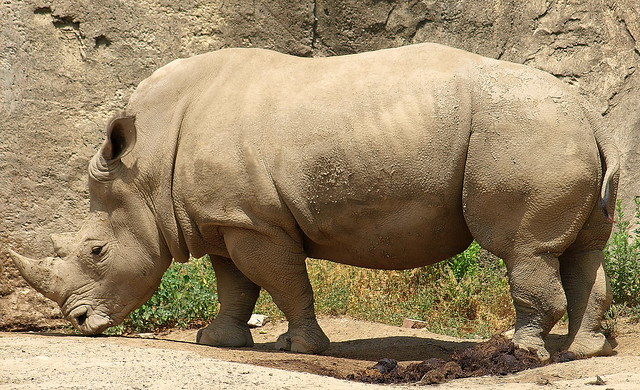 Rhino at Indianapolis Zoo