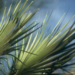 Palm Fronds | by kevin dooley