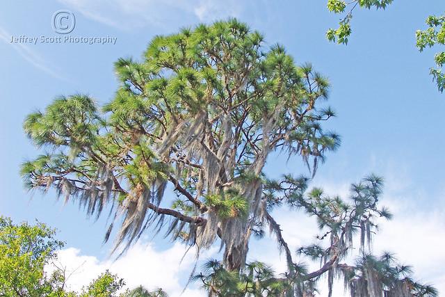 Florida Pine with Spanish Moss