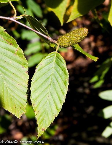 tree al pennsylvania berkscounty hawkmountain blackbirch betulaceae betulalenta sweetbirch fagales h201 rb612