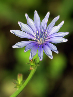 Chicory? 20110803 | by Kenneth Cole Schneider